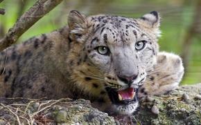 Picture face, predator, snow leopard, big cat