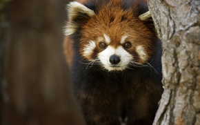 Picture background, tree, firefox, Red Panda