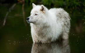 Picture nature, river, wolf