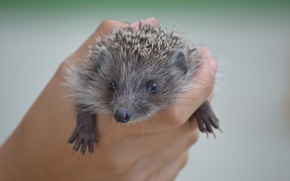 Picture small, hedgehog, in the hand