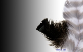 Picture white, feathers, black
