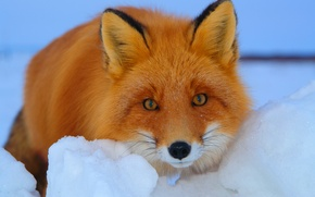 Picture look, Fox, snow, red, winter