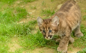 Picture cat, kitty, Puma, cub, mountain lion, Cougar