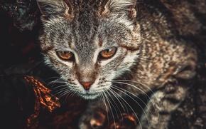 Picture cat, eyes, cat, look, bronze, toning