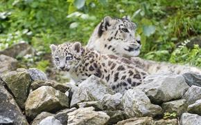 Picture cat, stones, IRBIS, snow leopard, cub, kitty, ©Tambako The Jaguar