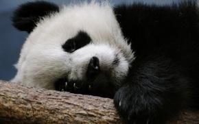 Picture branch, bear, Panda, sleeping