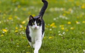 Picture cat, summer, grass, cat