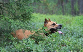 Picture forest, dogs, animal, dog, lies, in blueberries, staffordshirskiy Terrier, under the spruce