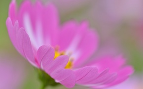 Picture flower, petals, kosmeya