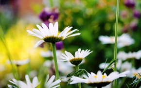 Picture summer, chamomile, beauty