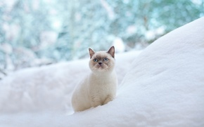 Picture winter, cat, snow, blue eyes, the snow