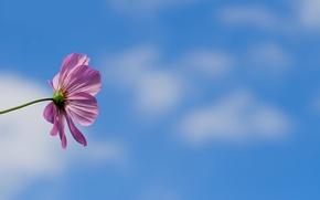 Picture flower, the sky, background, kosmeya