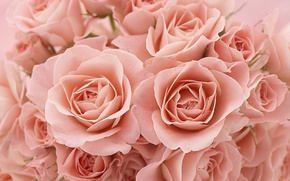Picture macro, roses, petals, buds