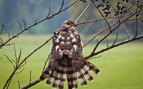 Picture branches, bird, after the rain, dried, Falcon