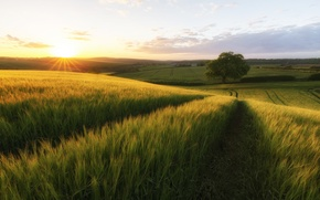 Picture road, field, the sun, tree, rye