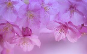 Wallpaper macro, cherry, spring, petals, Sakura, flowering, flowers