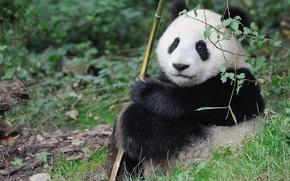 Picture baby, Panda, cute