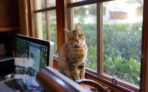 Picture computer, look, wool, Cat, window