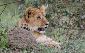 Picture cat, grass, look, face, Leo, cub, kitty, lion