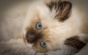 Picture look, muzzle, kitty, blue eyes