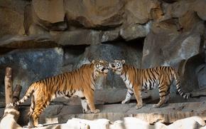 Picture cats, tiger, stones, pair, Amur