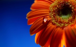 Picture close-up, drop, Gerbera