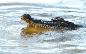 Picture predator, reptile, alligator, teeth