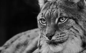 Picture eyes, look, predator, lynx