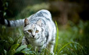 Picture grass, eyes, cat, nature, background, Wallpaper, muzzle