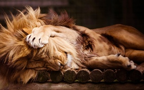 Picture sleep, Leo, paws, mane, zoo, lion