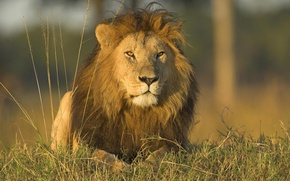 Picture animals, grass, nature, predators, Leo, wild cats, lions