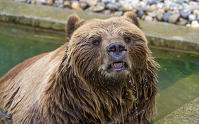 Picture face, wet, predator, bear, bathing