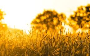 Wallpaper widescreen, blur, HD wallpapers, Wallpaper, tree, spike, wheat, field, rye, full screen, the sun, background, ...