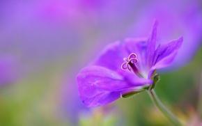 Picture flower, macro, lilac, focus, petals, Geranium, cranesbill