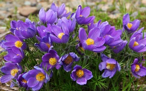Picture purple, spring, anemones, sleep-grass, cross