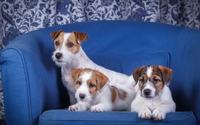 Wallpaper the Sealyham Terrier, chair, trio, puppies