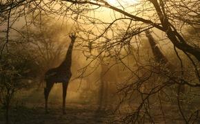 Picture light, fog, Trees, giraffes