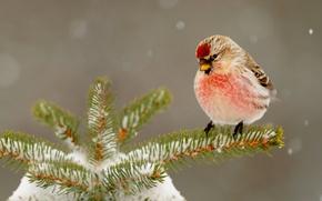 Picture winter, snow, needles, nature, bird, tree, beak