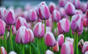 Picture a lot, buds, tulips