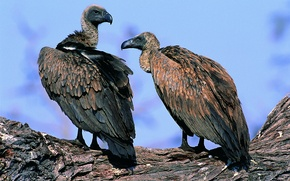 Picture the sky, sunlight, scavengers, the trunk of the tree, leisure, Vultures