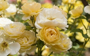 Picture yellow, Bush, roses