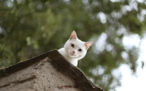 Picture cat, cat, Peeps, white. looks
