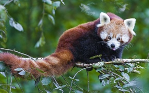 Picture branch, muzzle, tail, red Panda, firefox