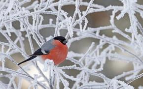 Wallpaper snow, bird, winter, frost, bullfinch, branches