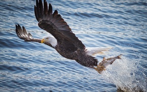 Picture water, flight, squirt, river, bird, fishing, wings, fish, predator, mining, bald eagle