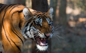Picture nature, background, Bengal Tiger
