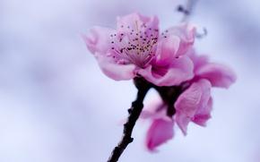 Wallpaper branch, Sakura, spring, the sky, flower, pink