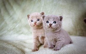 Picture kittens, grey, two, blue-eyed