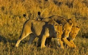 Wallpaper Kenya, Leo, Africa, Masai Mara National Reserve, lioness