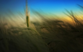 Picture field, summer, the sky, nature, background, Wallpaper, the evening, spikelets